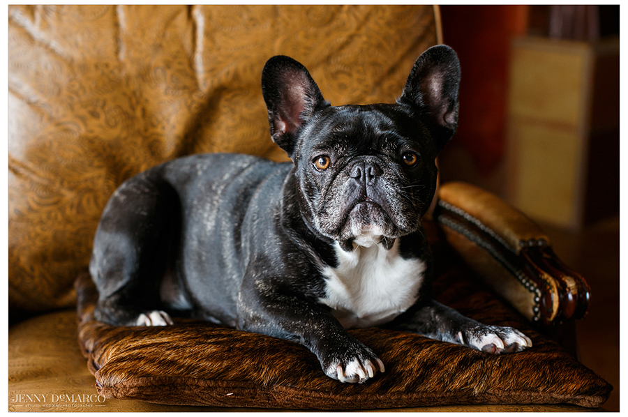 Sassy french bulldog admiring the buzz of the wedding while lounging on a leather chair.