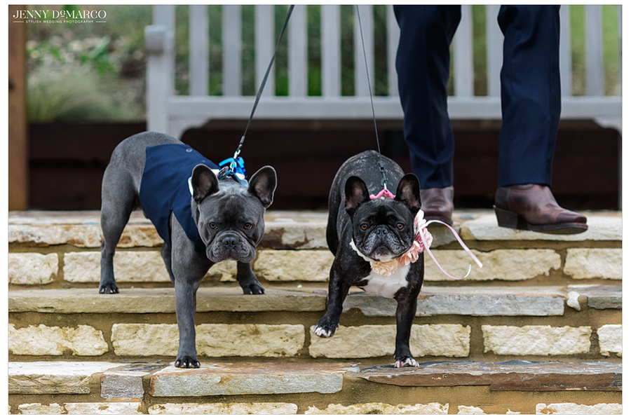 Two french bulldogs make their way down the stares while carrying the ceremonial rings around their collars to place on the bride and groom's fingers.