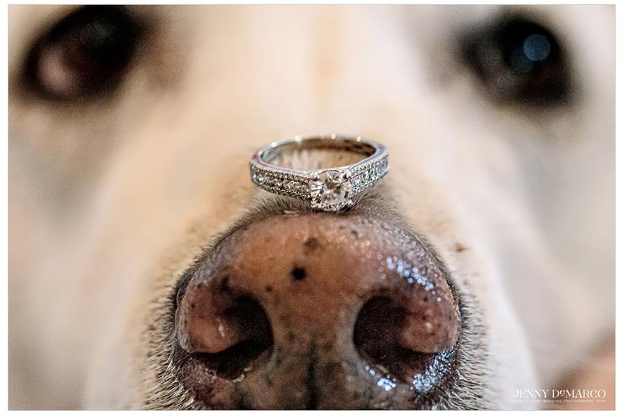 Dog with wedding band on nose